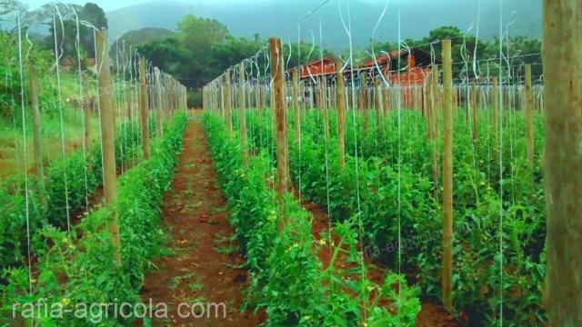 rafia agrícola con malla espaldera