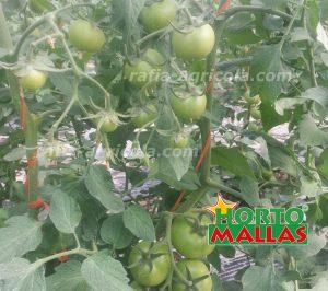 cultivo de tomate con rafia